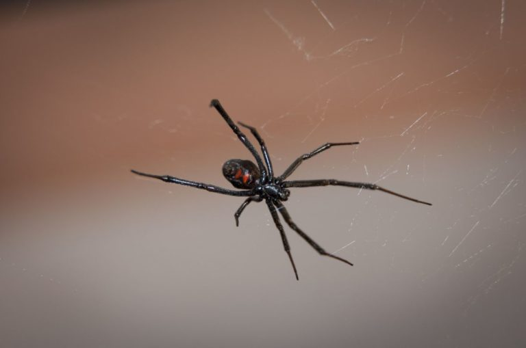 Black Widow Spider Research Could Lead to Bulletproof Silk