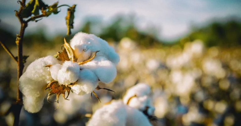 US Farmers Can Now Grow Edible Cotton