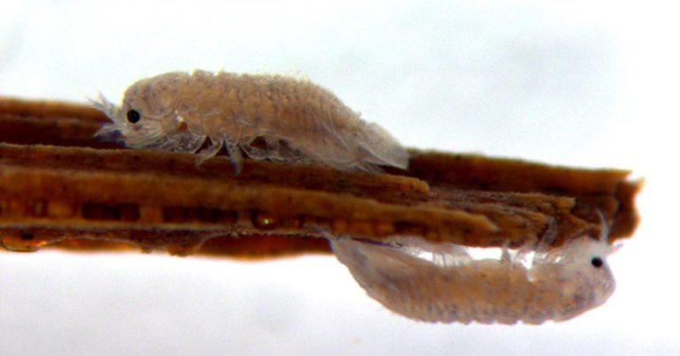 A Tiny Crustacean Could Help Us Create Biofuel From Wood