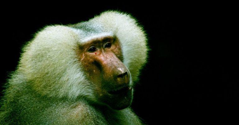 Baboons With Pig Hearts Bring Us Closer to Human-Pig Transplants
